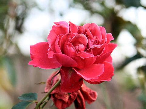 Rosa cv. Grand Canyon