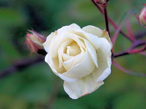 Rosa cv. Moonlight
