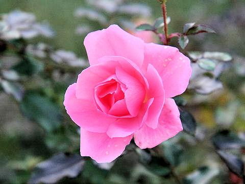 Rosa cv. Sommer Morgen