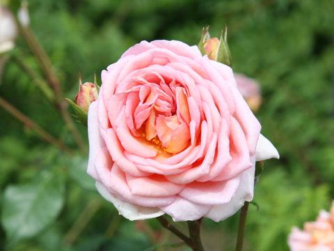 Rosa cv. Abraham Darby