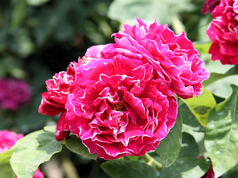 Rosa cv. Baron Girod de l'Ain