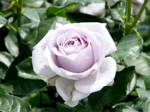 Rosa cv. Blue Bajou