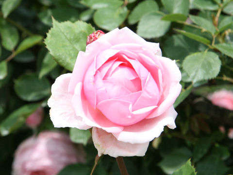 Rosa cv. Brother Cadfael