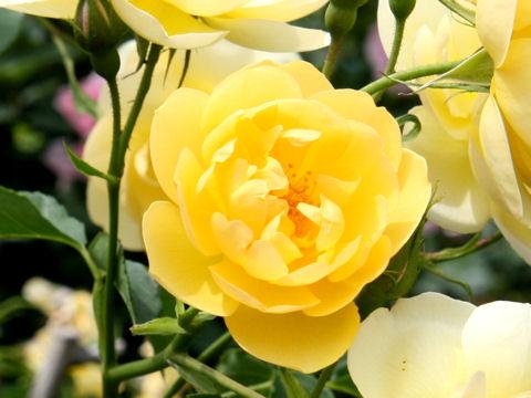 Rosa cv. Butter Cup