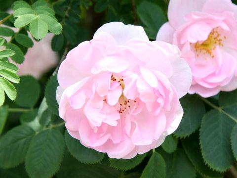 Rosa cv. Celestial