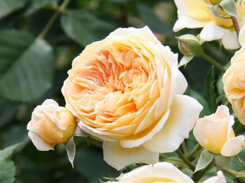 Rosa cv. Crown Princess Margareta