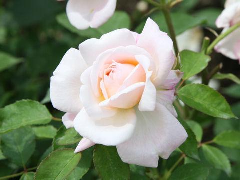 Rosa cv. Gruss an Aachen
