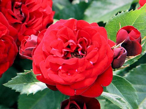 Rosa cv. Lavaglut