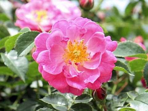 Rosa cv. Magic Meidiland
