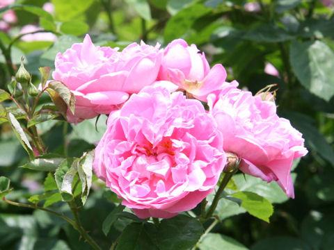 Rosa cv. Mary Rose