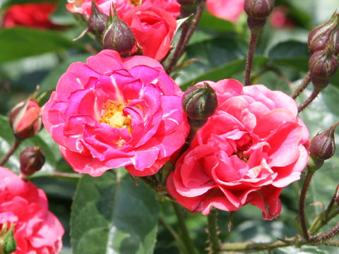 Rosa cv. Mary