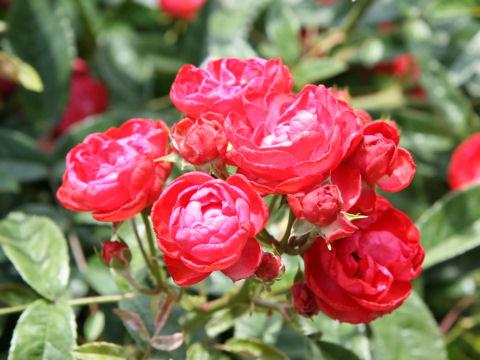 Rosa cv. Meiwonder