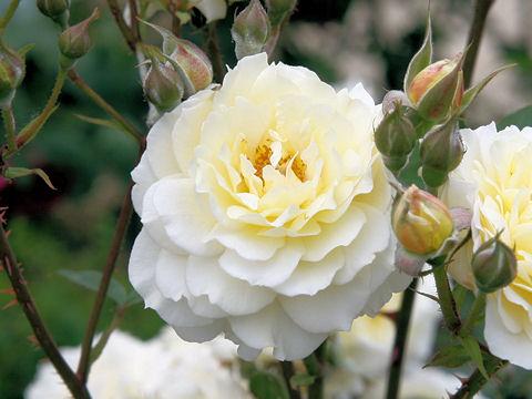 Rosa cv. Moonsprite