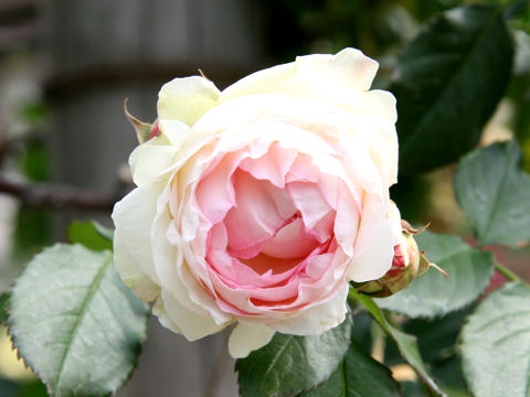 Rosa cv. Pierre de Ronsard