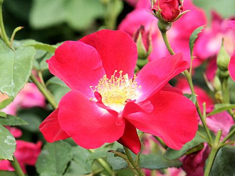 Rosa cv. Red Coat