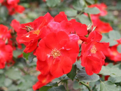 Rosa cv. Saraband