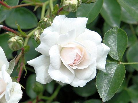 Rosa cv. Sea Foam