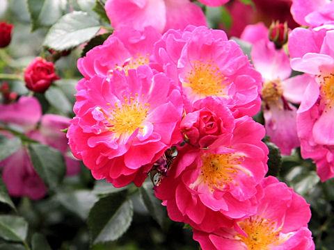 Rosa cv. Sonia Rykiel