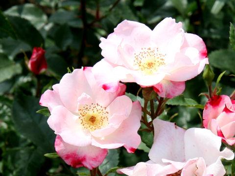 Rosa cv. Hanagasumi