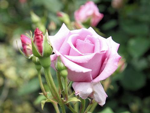 Rosa cv. Murasakino