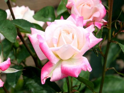 Rosa cv. Oharame