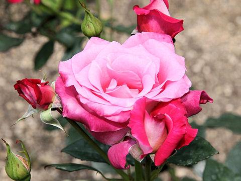 Rosa cv. Miyakooji
