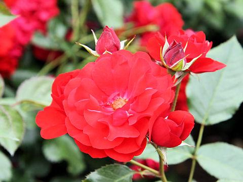 Rosa cv. Ingrid Weibull