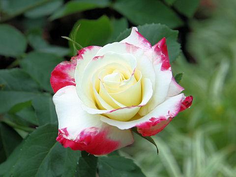 Rosa cv. Double Delight