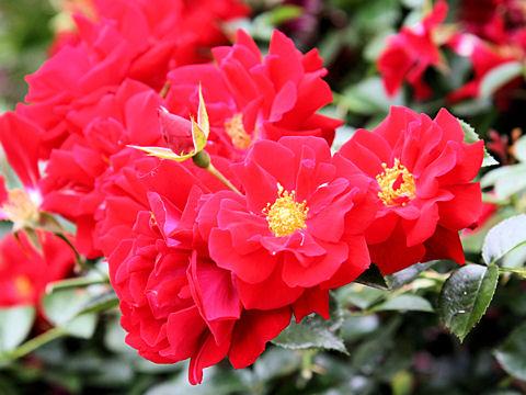 Rosa cv. Mainau Feuer