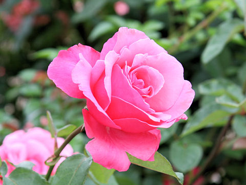 Rosa cv. Marie Antoinette