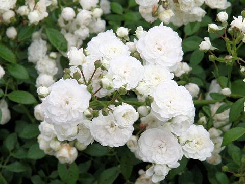 Rosa cv. Hatsu-yuki
