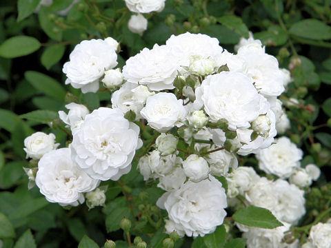 Rosa cv. Sekkei
