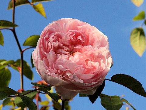 Rosa cv. Princess Masako