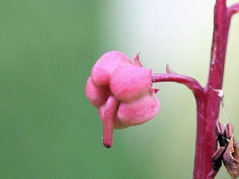 Pyrola incarnata