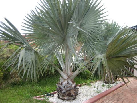 ビスマルク椰子