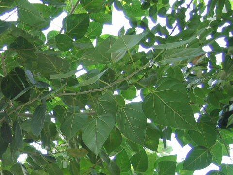 菩提樹擬き