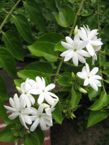 ボルネオ素馨