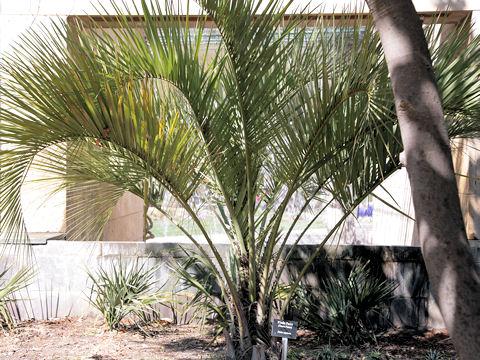ブラジル椰子
