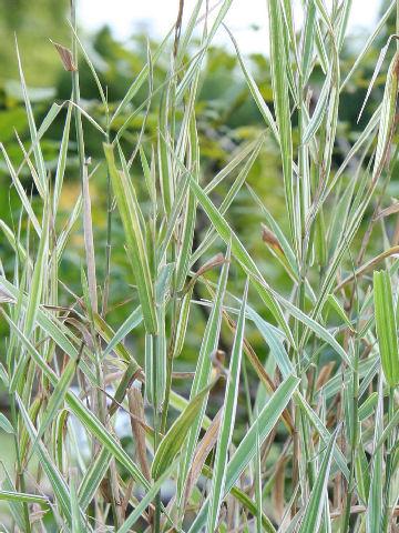 斑入り草葦