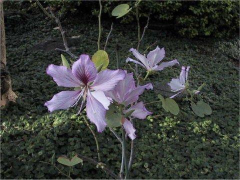 斑入り蘇芯花