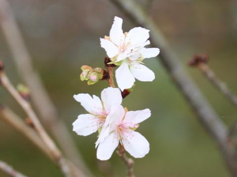 Prunus x parvifolia cv. Parvifolia