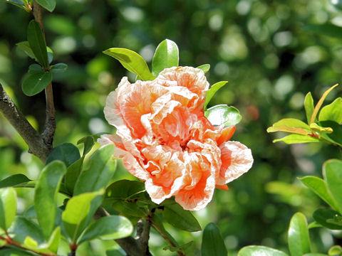 花石榴(ハナザクロ)はどんな植物?Weblio辞書