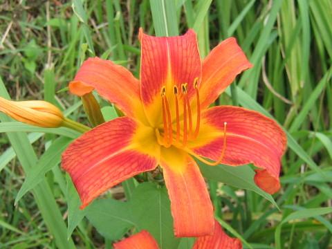 ヘメロカリス の 意味 ヘメロカリスとは?ギリシャ語でどんな意味?開花時期や花言葉も紹介...