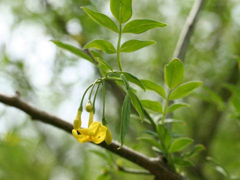 ヒマラヤ素馨