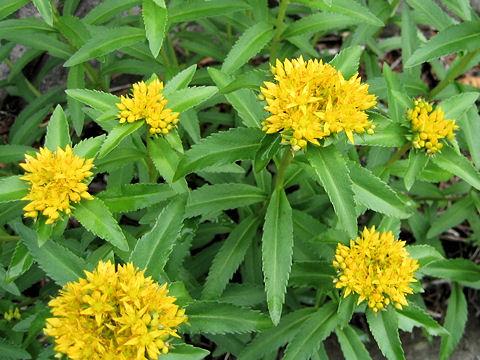 細葉の麒麟草