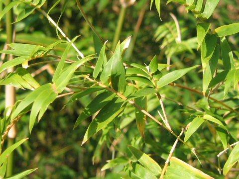 Bambusa multiplex var. elegans
