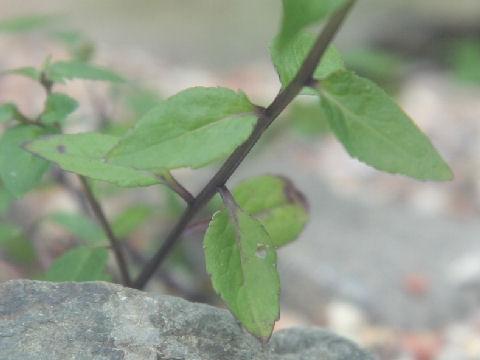 Campanula uemurae