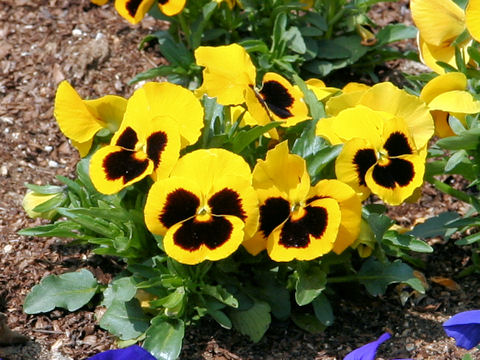 How to Grow and Care for Pansy Plants  The Garden Helper