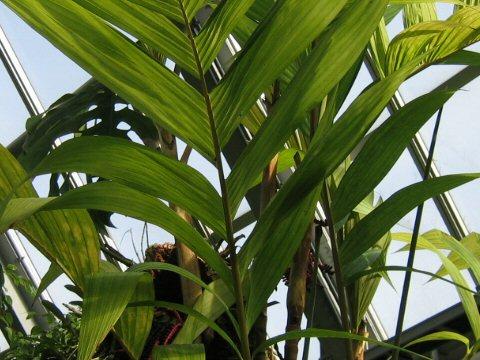 ピナンガ椰子