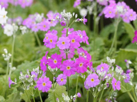 プリムラ・マラコイデスはどんな植物?Weblio辞書